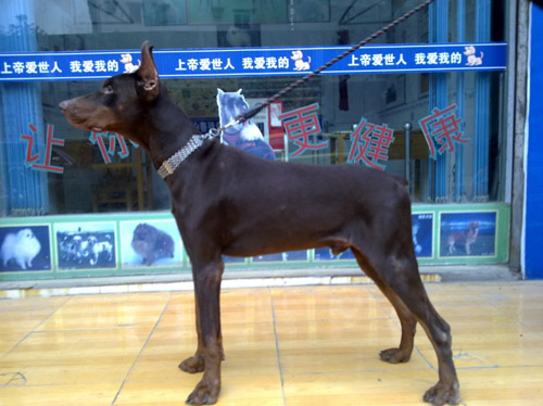 宠物销售(大型犬类)-南充关爱宠物中心医院|南充宠物